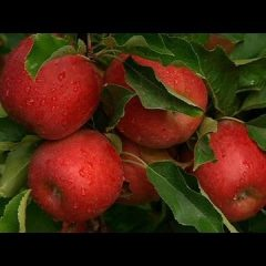 [Gardening] Tips For Growing Apple Trees With Success