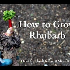 [Gardening] Tips To Growing Rhubarb The Easy Way